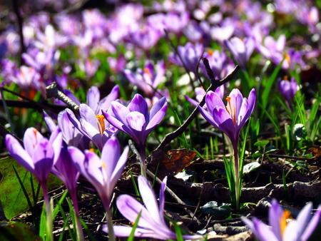Close-up of a field of crocus vernus flowers