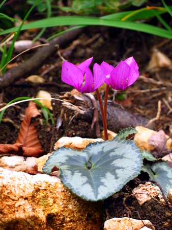 sowbread: Wild cyclamen with leaves in nature Stock Photo