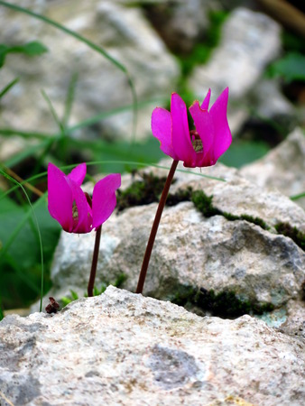 sowbread: Wild cyclamen from behind the rock Stock Photo