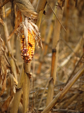 Corn destroyed by drought Stock Photo