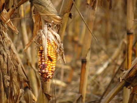 corn crop: Corn destroyed by drought Stock Photo