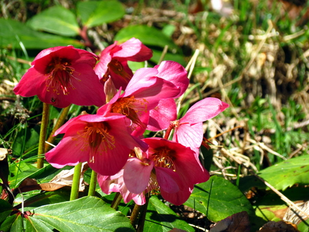 florae: Helleborus niger - Christmas rose. Red bunch. Stock Photo