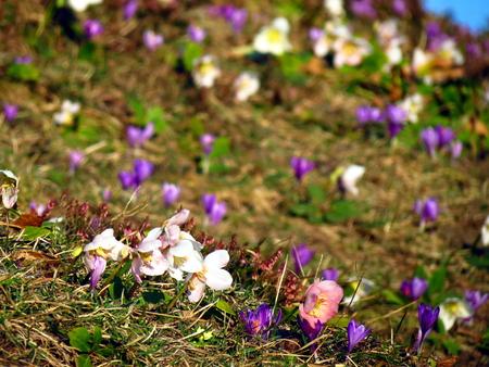florae: White Helleborus niger and crossus vernus on field of grass