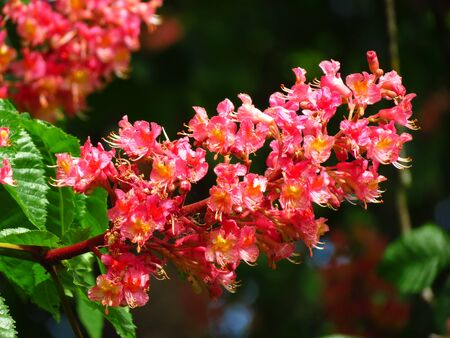 chestnut tree: Red flower of chestnut tree Stock Photo