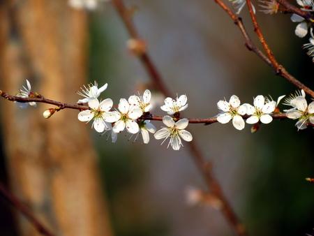 ciruela pasa: Rama de ciruela con flores blancas Foto de archivo