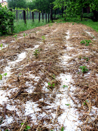 hail: Permaculture garden - straw covered with hail