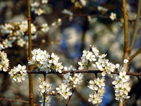 ciruela pasa: Rama de ciruela lleno de flores Foto de archivo