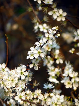 ciruela pasa: Flores Pode Foto de archivo
