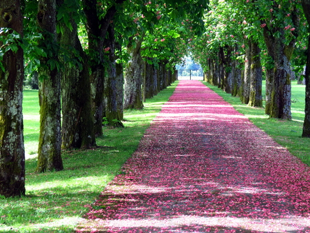 Promenade covered with pink flower petals