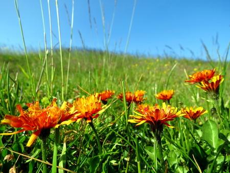 Alpine meadow with orange flowers Stock Photo