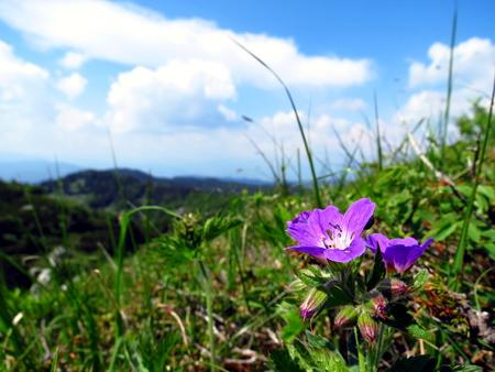Pink flower on alpine meadow