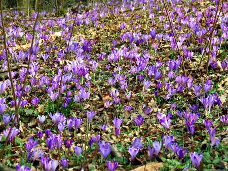 morado: Meadow full of spring croccus Foto de archivo