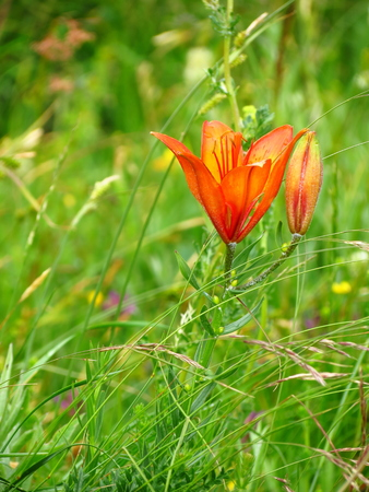 filming point of view: Orange lily