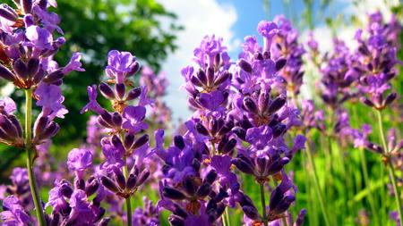 Lavander flowers close-up