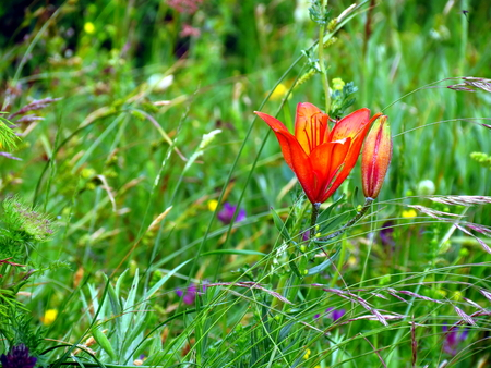 filming point of view: Orange lily in green meadow Stock Photo