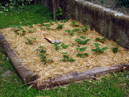 Strawberries planted in straw - permaculture garden
