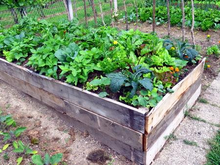 Vegetables in raised garden bed - permaculture garden