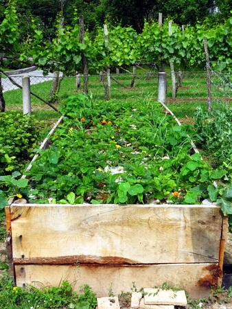 Strawberries in raised garden bed - permaculture garden Stock Photo