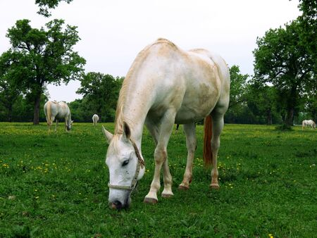 lipizzan horse: White Lipizzan horse eating grass