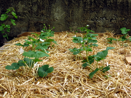 Strawberries planted in straw - permaculture garden - close up view