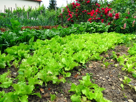 Green salad in permaculture garden Stock Photo