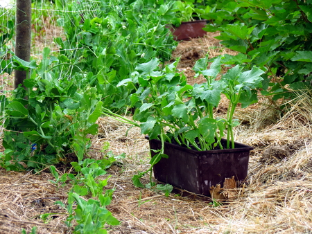Plants in pot ready for planting in permaculture garden Stock Photo