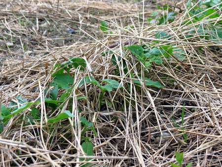 Beans growing through hay, permaculture garden Stock Photo