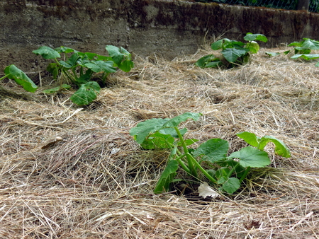 Pumpkins planted in hay, permaculture garden Stock Photo