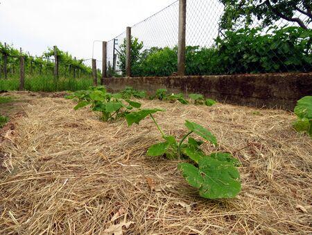 Pumpkins growing in permaculture garden