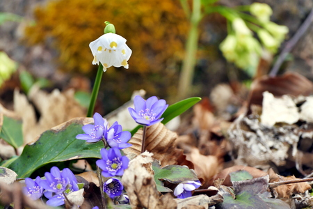 liverwort: Snowdrops and hepatica in early spring time Stock Photo