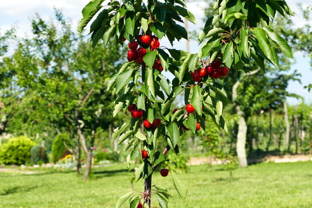 growers: Young cherry tree with ripe cherries - close up Stock Photo