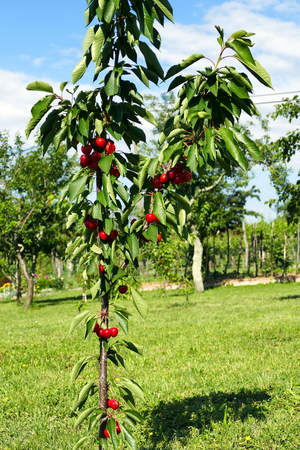 growers: Young cherry tree with ripe cherries