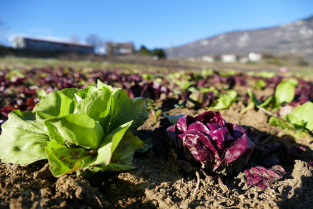 planted: Green and red chicory planted in garden Stock Photo