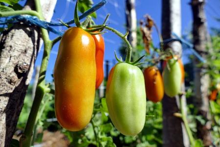 Pelati tomatoes in garden - close up Stock Photo