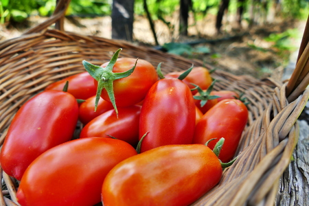 Pelati tomato in basket in the garden - closeup view