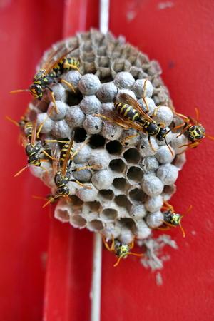 Social wasps on paper nest - portrait orientation