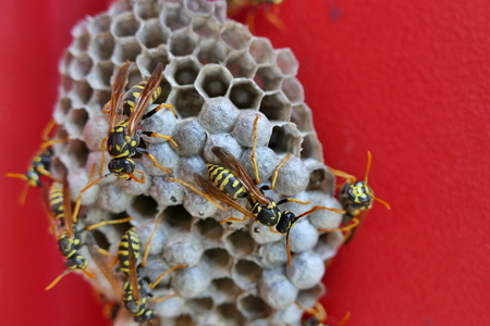 Social wasps on paper nest