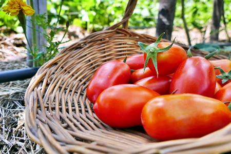 Pelati tomato in basket in the garden Stock Photo