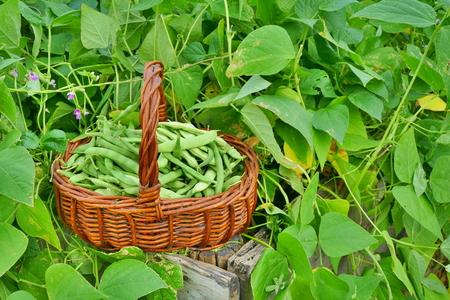 Beans in basket on raised garden bed
