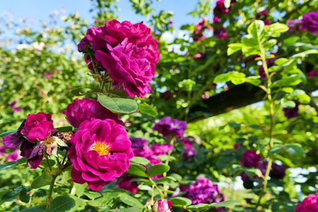 Purple Bourbone roses