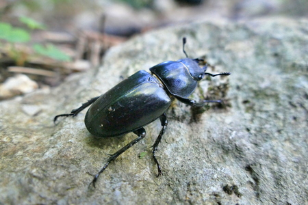 Female stag beetle on rock Stock Photo