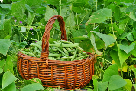 Beans in basket on raised garden bed, closeup Stock Photo