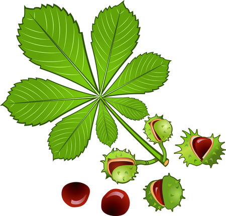 conkers: Leaves of horse chestnut tree and Conkers in shell