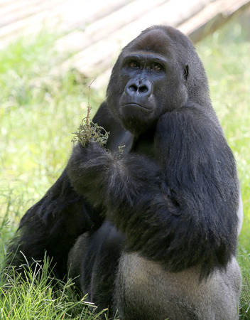 big male gorilla