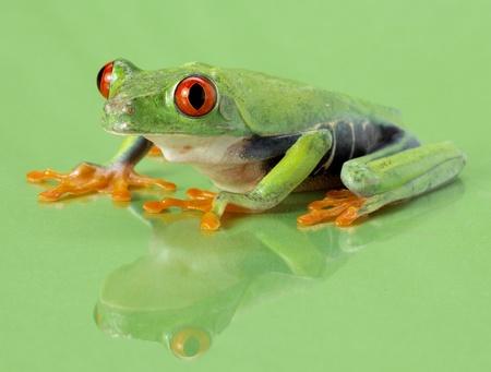 Red-eye frog Agalychnis callidryas