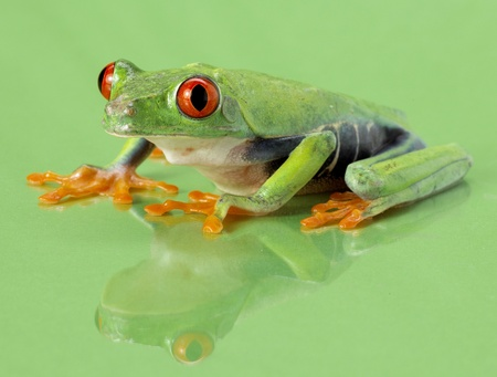 callidryas: Red-eye frog Agalychnis callidryas