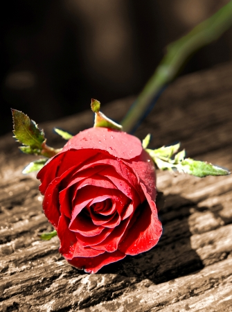 Red Rose Flower Isolated on Background  on Beautiful Red Rose  Stock Photo