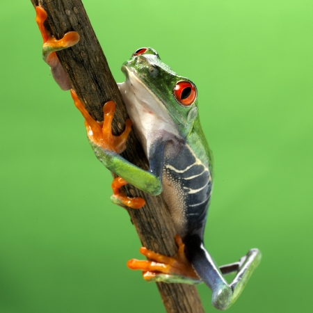 red eyed treefrog macro isolated exotic frog curious animal bright vivid colors Agalychnis calydrias beautiful eye colorful amphibian looking up closeup