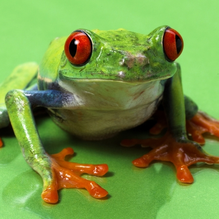 red eyed treefrog macro isolated exotic frog curious animal bright vivid colors Agalychnis calydrias beautiful eye colorful amphibian looking up closeup photo