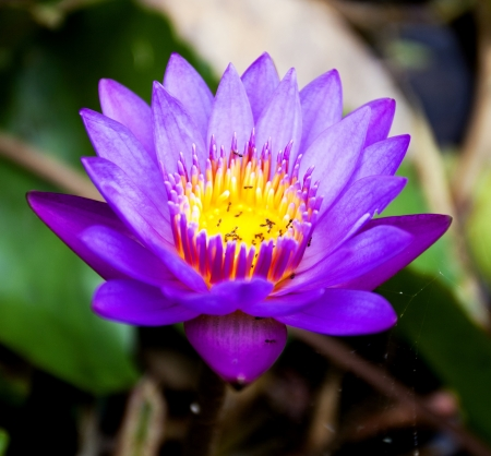 Lotus flower from Thailand